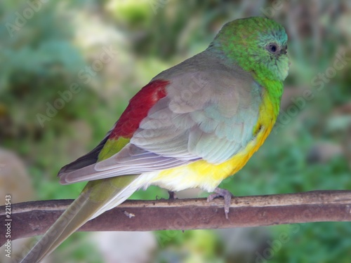 Fotografie, Obraz  close up of red rumped parrot