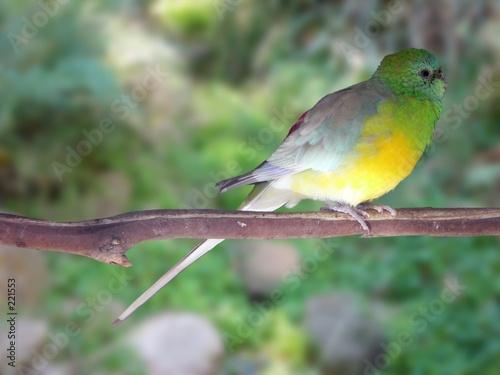 Fotografie, Obraz  red rumped parrot female