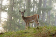 canvas print picture - deer 1