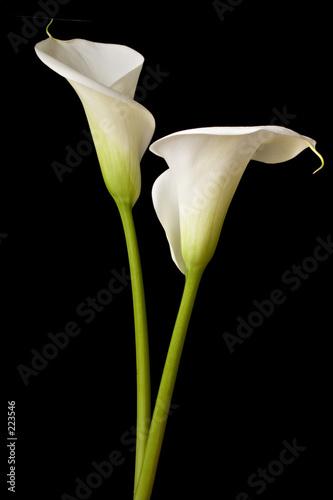 Fotografie, Obraz  calla lilies 2