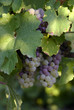 canvas print picture - grapes in a vineyard 3