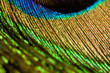 canvas print picture - macro peacock feather