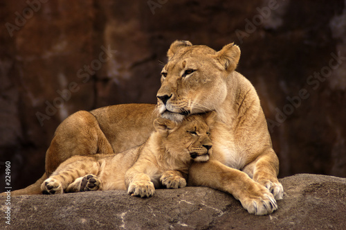 animal - african lion (panthera leo krugeri) Canvas Print