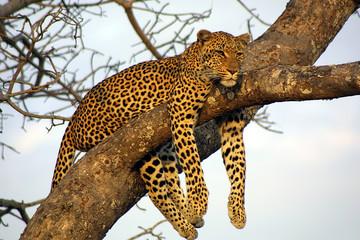 Fototapetalazy lounging leopard