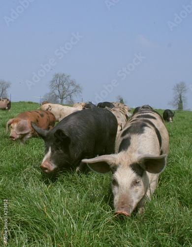 three pigs running Canvas-taulu
