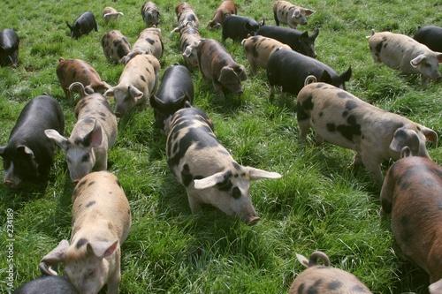 Valokuva  running piggies