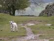 lamb on the path
