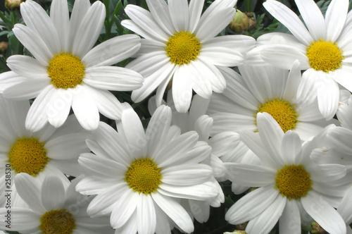 Fotobehang Macro white daisies