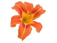 Orange Daylily Isolated