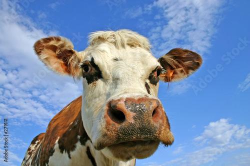 Poster de jardin Vache normande