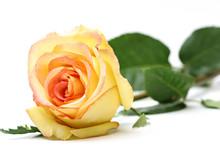 Rose Over White
