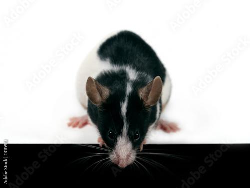 canvas print motiv - Emilia Stasiak : mouse looking down