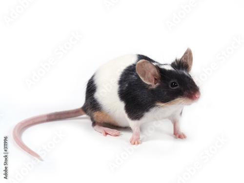 canvas print motiv - Emilia Stasiak : little mouse