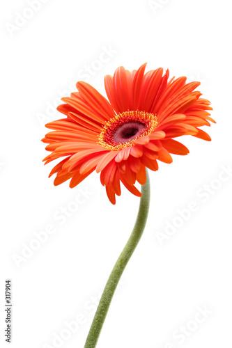 Deurstickers Gerbera rising daisy