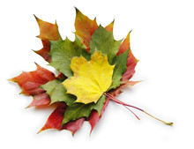 Three Red Yellow Green Maple Leaves On White