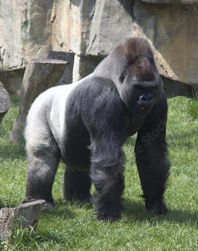 Photo sur Toile Singe silver back gorilla