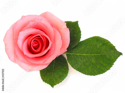 isolated pink rose with green leaf