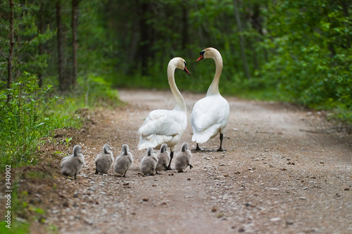 Cadres-photo bureau Cygne swans family
