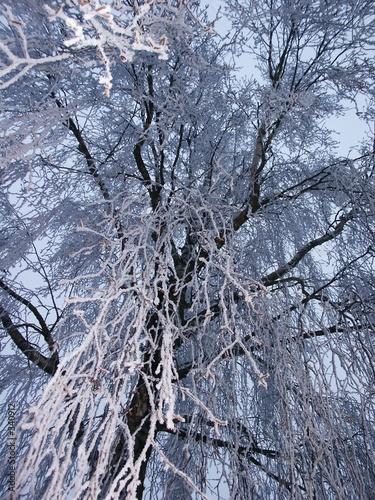Aluminium Prints Birch Grove frost