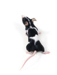 Leinwanddruck Bild little mouse