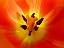 Closeup Of A Tulip