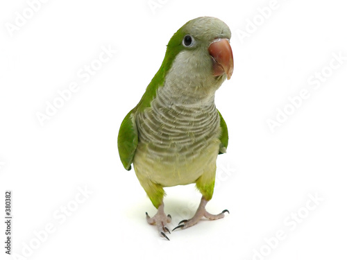 In de dag Papegaai quaker parrot isolated on white