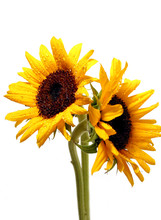 Two Sunflowers On White