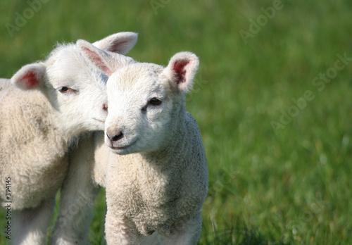 Papiers peints Sheep psst ... wanna hear a secret?