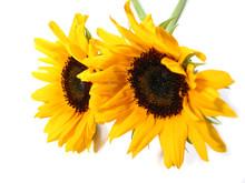 Sunflower White Background
