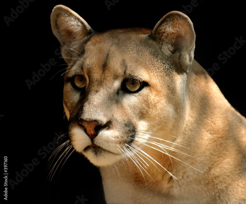 Canvas Prints Puma cougar portrait