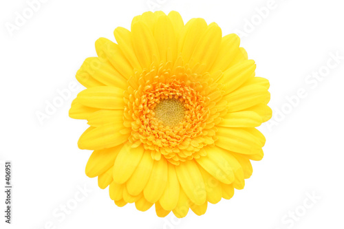 Fotografie, Tablou gerbera daisy