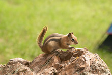 The Cautious Chipmunk