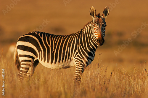 Aluminium Prints Zebra cape mountain zebra