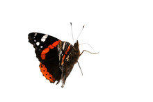 A Red Admiral Butterfly Walking Around