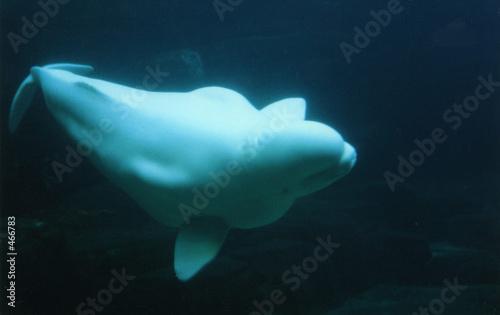 Fotografie, Tablou  beluga wal