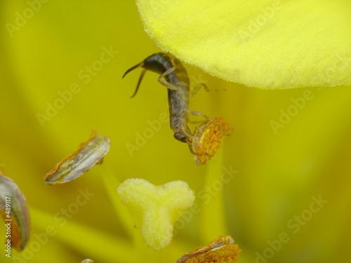Fotografie, Obraz  european earwig (forficula auricularia)