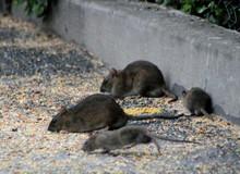 Oh, Rats #3