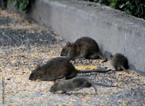 Photo  oh, rats #3