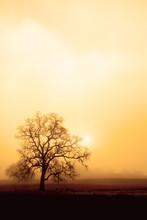 Fog, Oak And Sun In Sepia