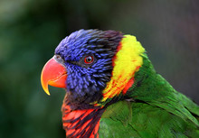 Beautiful Colorful Parrot Star...