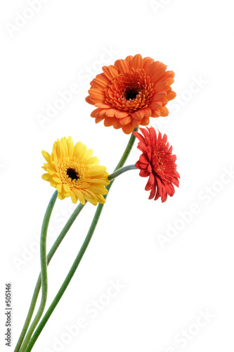 Fotografie, Obraz orange and yellow gerbera