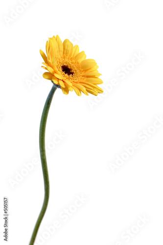 In de dag Gerbera yellow gerbera