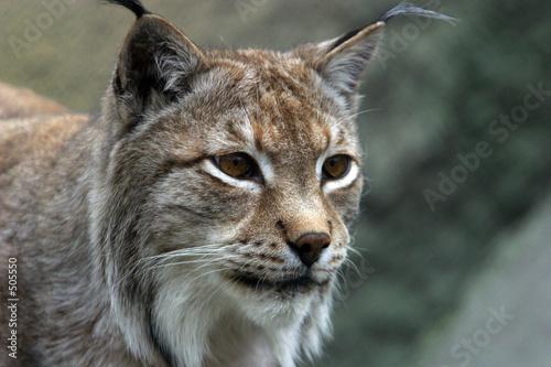 Fotobehang Lynx portrait the lynx