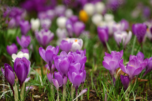 Canvas Prints Crocuses krokuswiese