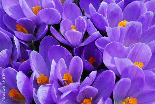 Papiers peints Crocus purple crocus