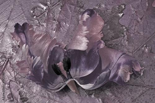 Fototapety, obrazy: tulipe