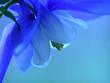 Leinwandbild Motiv blue spring flower