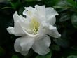 canvas print picture - weiße azaleenblüte