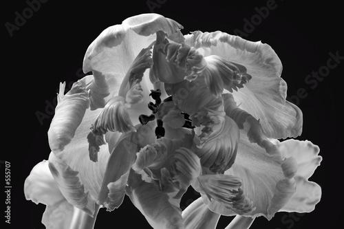 tulipe-perroquet - 555707