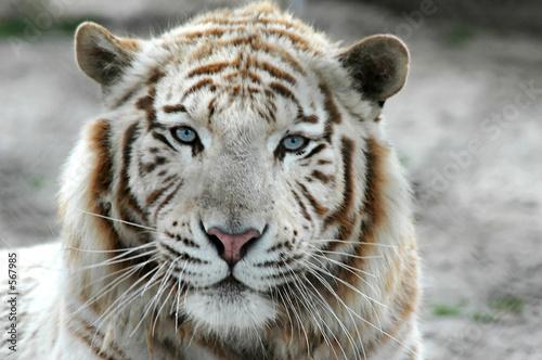 Photo sur Toile Tigre tigre blanc b
